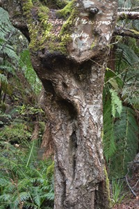 image of tree trunk that looks like a contorted face. Location: Lilydale Falls Reserve, Tasmania.