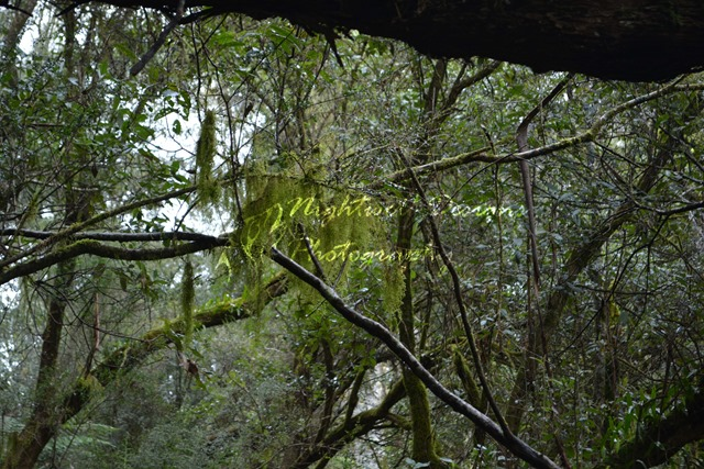 image of moss growing on trees. Location: Lilydale Falls Reserve, Tasmania.