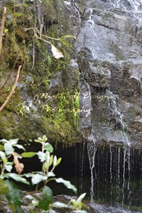 image of moss growing on rocks. water is trickling over rocks. Location: Lilydale Falls Reserve, Tasmania.