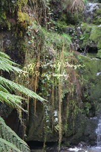 image of plants and moss trailing over rocks. Location: Lilydale Falls Reserve, Tasmania.